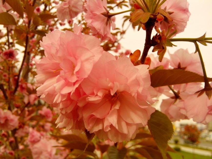 Насладете се на прелестните цветове на Японската вишна на Автогарата